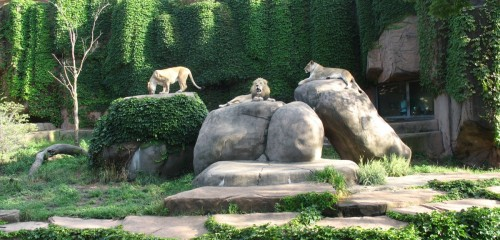 Lions in Lincoln Park Zoo, Chicago